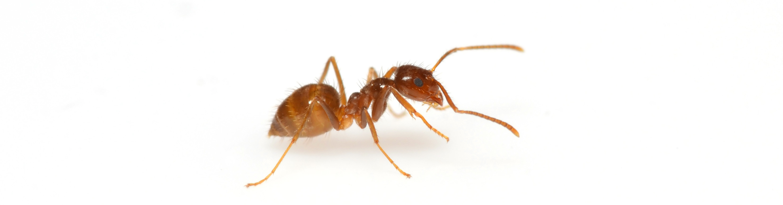 Rasberry Crazy Ant on white background.