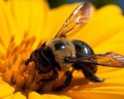 Carpenter Bee sucking nectar from a yellow flower.