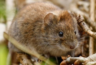 Meadow Voles
