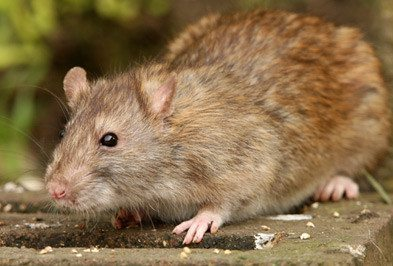 Norway Rat Types Facts And How To Identify Norway Rat Control Holder S Pest Solutions