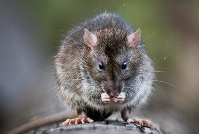 Roof Rat Types Facts And How To Identify Roof Rat Control Removal Holder S Pest Solutions