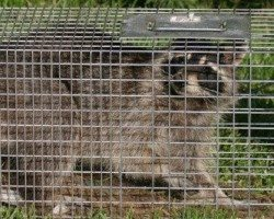 Raccoon trapped in a cage.