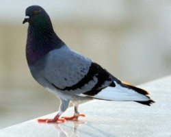 Gray Pigeon standing on a flat surface.