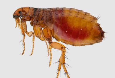 Fleas Types Facts And How To Identify Flea Control Holder S Pest Solutions