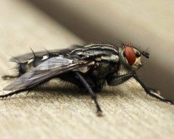 House Fly sitting on a wooden surface.