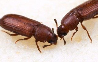 Two Red Flour Beetles budding heads.