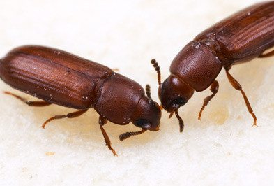 Flour Beetle - Types, Facts, and How to Identify | Flour Beetle Control |  Holder's Pest Solutions