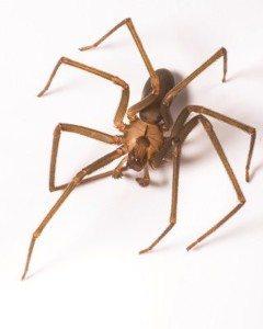 32_brown-recluse-spider