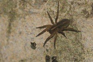 34_wolf-spider