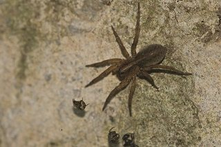 Brown Wolf Spider crawling towards bugs.