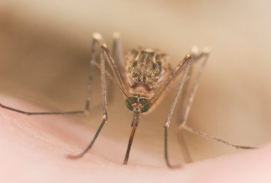 Mosquito sucking on a person's skin.