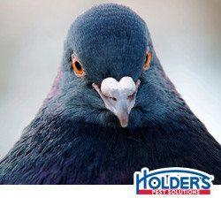 Pigeons face looking at camera.