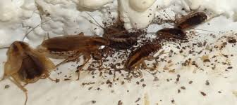 Swarm of brown German Cockroaches.