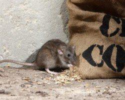 Mouse hiding next to burlap sack.