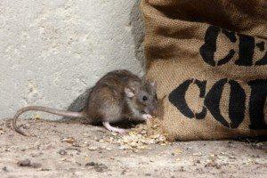 Rat hiding next to burlap sack.