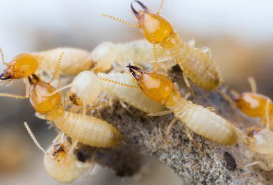 Group of termites on a branch.