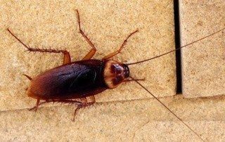 American Cockroach walking on concrete.