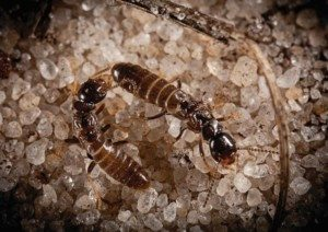 Two brown termites on pea gravel.
