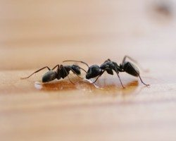 Two ants on a wooden surface.