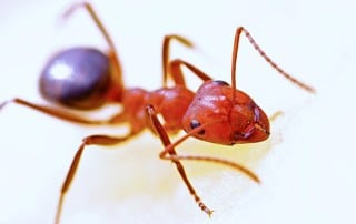 Close up of a Fire Ant.