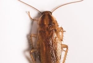 German Cockroach on beige surface.