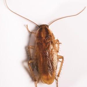 German Cockroach on beige surface.