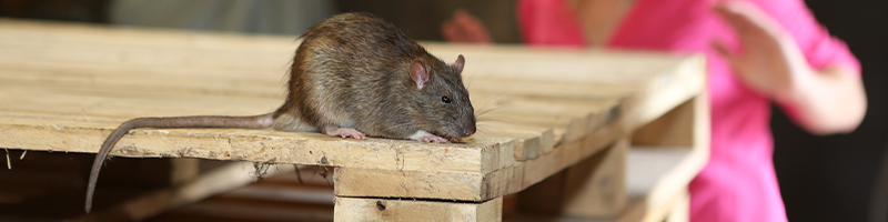Rat on pallet of wood in a business